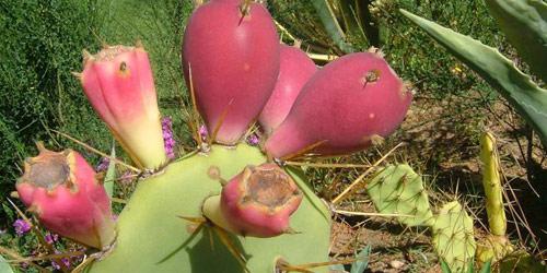 Plantas Opuntia ficus-indica