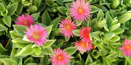 Plantas: Aptenia Cordifolia