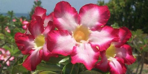 Plantas Adenium obesum