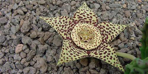 Plantas: Stapelia variegata